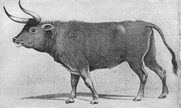 7.) Aurochs (extinct since 1627): these animals were the ancestors to domestic cattle and lived in  Europe, Asia and North Africa. Three wild subspecies of aurochs are recognized. Only the Eurasian subspecies survived until recent times.