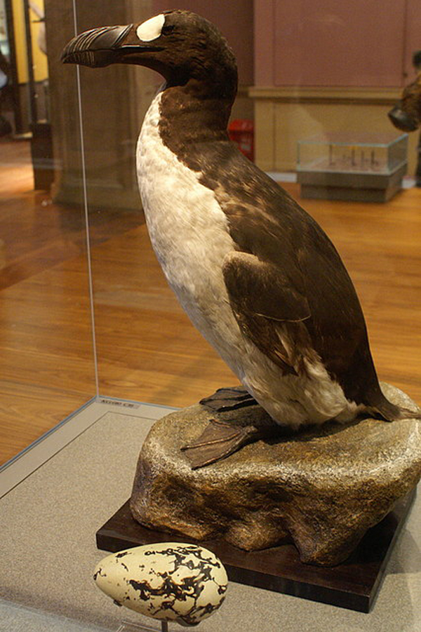 8.) The Great Auk (extinct since 1844): this large, flightless bird used to be found on islands off eastern Canada, Greenland, Iceland, Norway, Ireland and Great Britain, but it was eventually hunted to extinction. They had large black beaks with grooves on them, smooth black and white feathers and legs far back on its body, making it a powerful swimmer.