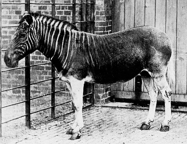 2.) Quagga (extinct since 1883): this was a subspecies of the plains zebra that lived in South Africa. It is considered particularly close to Burchell's zebra.