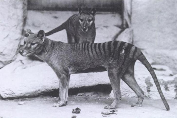 3.) Thylacine (extinct since 1936): otherwise known as the Tasmanian Tiger, this animal was actually a marsupial and not a tiger at all. It was found in to continental Australia, Tasmania and New Guinea.