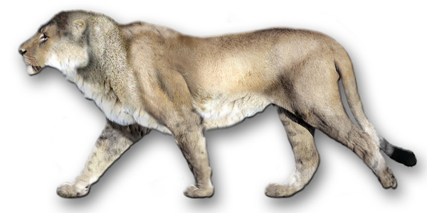 9.) Cave Lion (extinct 2,000 years ago): this was the largest kind of lion and was known as the European or Eurasian cave lion. They were thought to be 5-10% bigger than modern day lions.