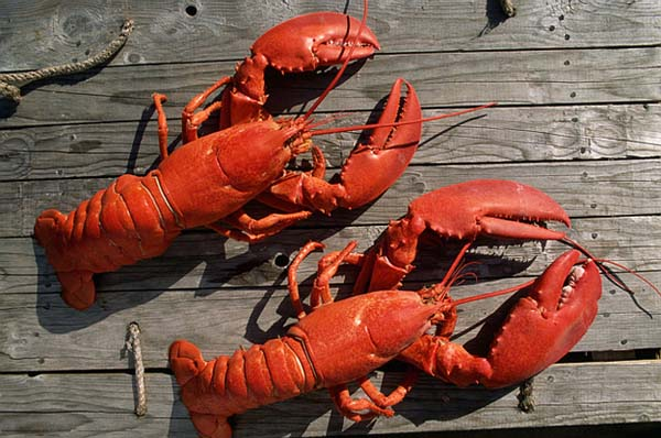 2.) Lobsters don't seem to age. They don't die of old age, but external factors.
