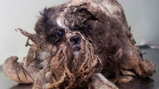 He had so much matted, dirty fur that he appeared much larger than he actually was.