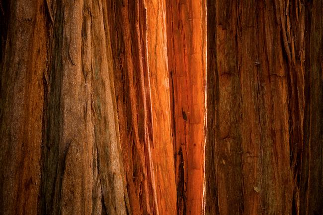 Sequoia Light, Sequoia National Park, CA