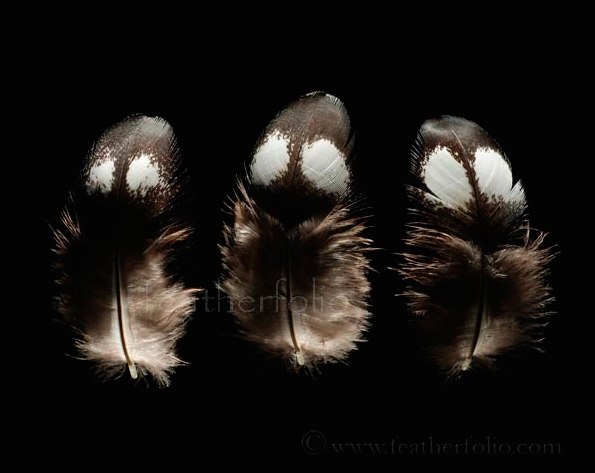 These downy feathers are from the capercaillie, a type of grouse. They look like little ghosts!
