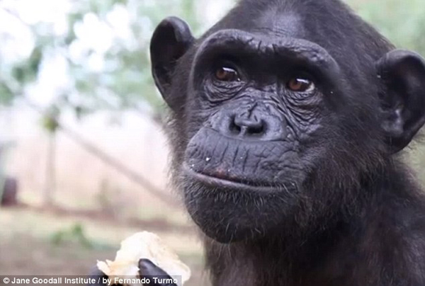 Wounda was ready to be back in the wild with other chimps.