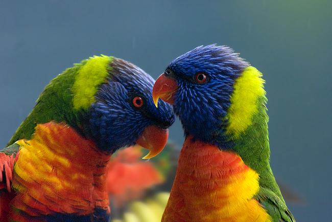 4.) Rainbow Lorikeet