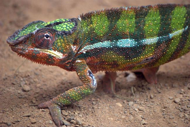 1.) Chameleon