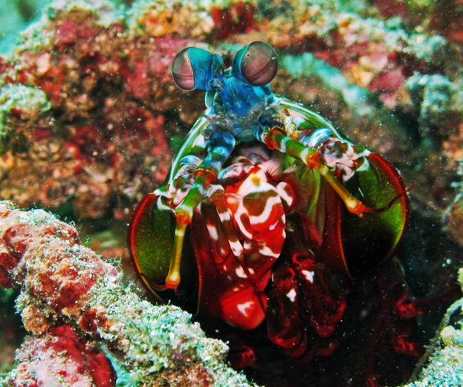 7.) Peacock Mantis Shrimp