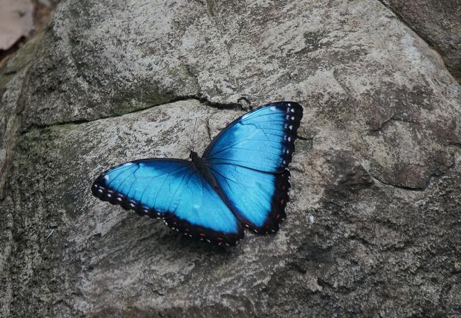 9.) Blue Morpho
