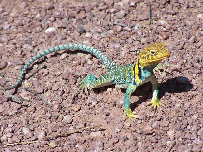 10.) Collard Lizard