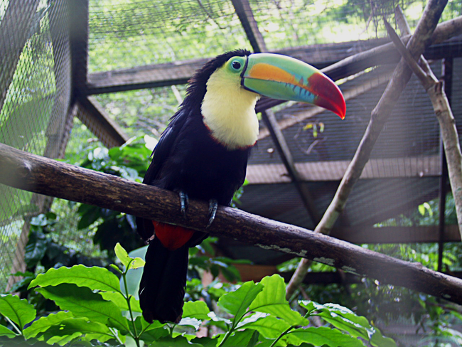 13.) Keel-Billed Toucan