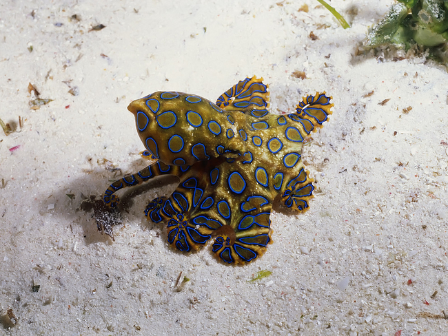 12.) Blue-Ringed Octopus