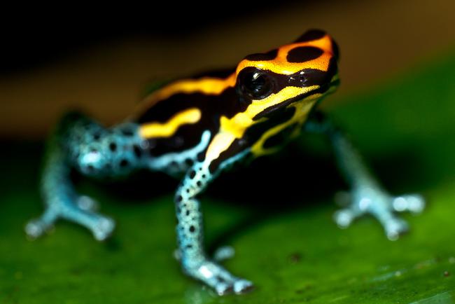 17.) Poison Dart Frog