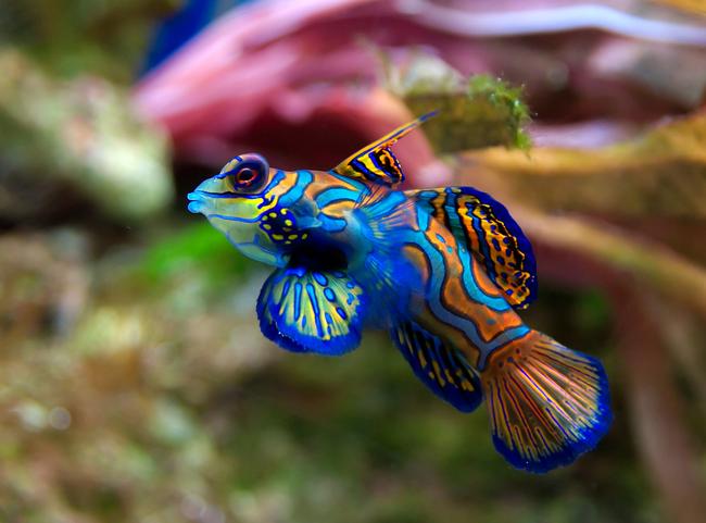 15.) Mandarin Fish