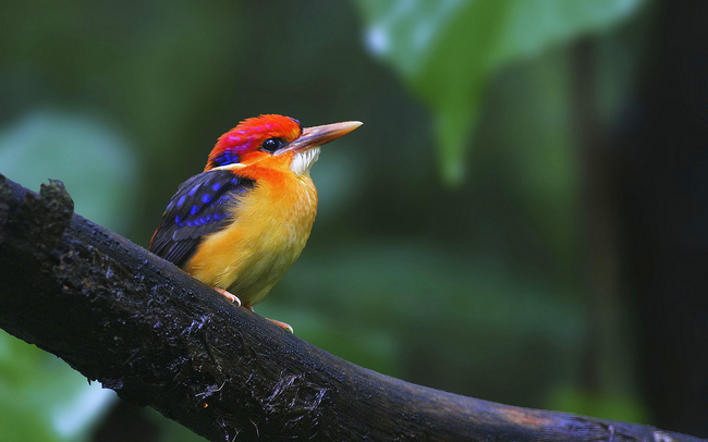 23.) Oriental Dwarf Kingfisher