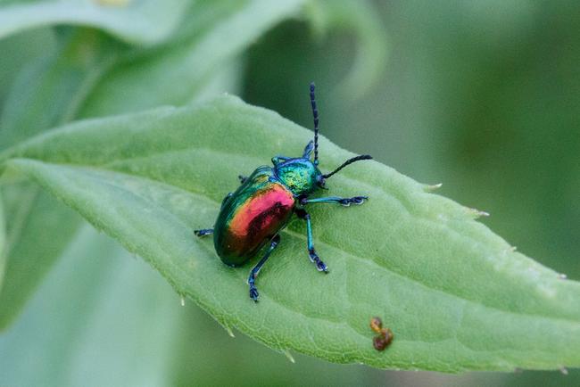 24.) Dogbane Leaf Beetle