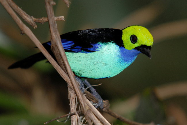 25.) Paradise Tanager