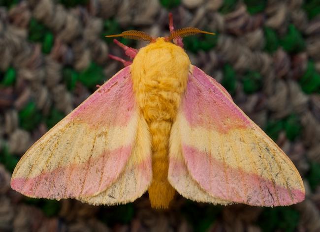 27.) Rosy Maple Moth