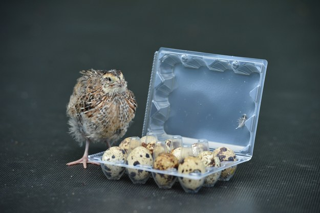 I don't even know how this is possible, but hey.. cute quail.