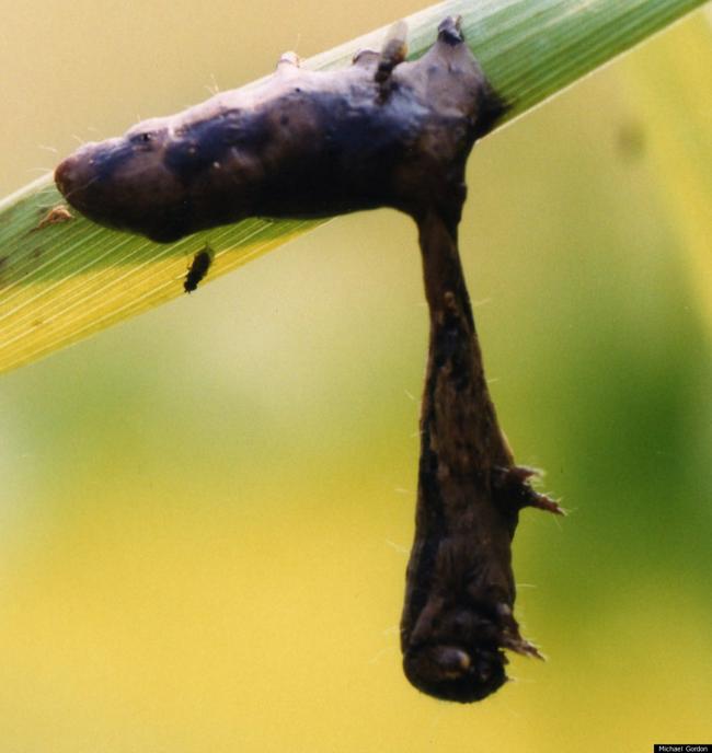 12.) Liquified Zombie Caterpillars