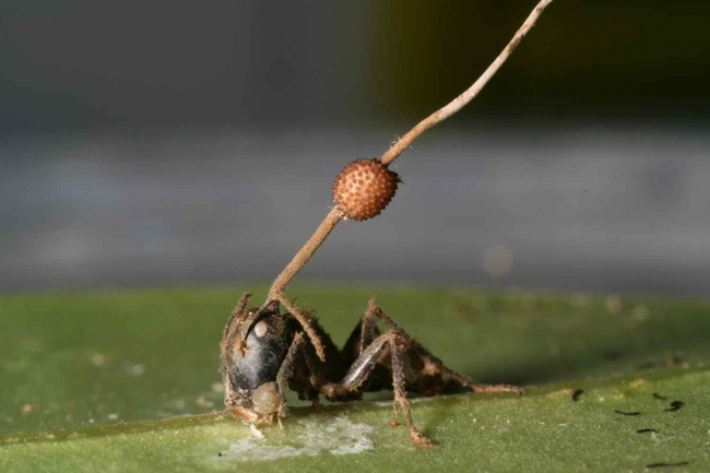 5.) Exploding Zombie Ants