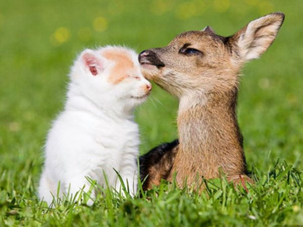 2.) Can fawns purr?