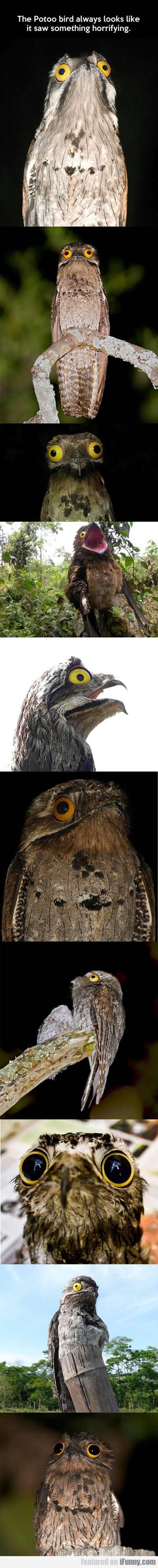 The Potoo Bird Always Looks Like It Saw...