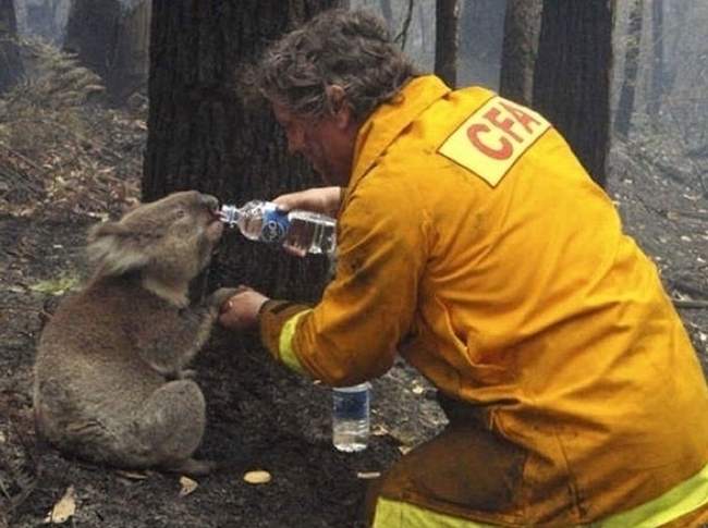 1.) Volunteer gives a koala a drink of water after a forest fire.