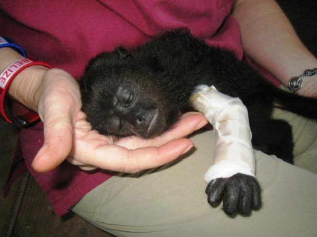 7.) An injured baby monkey rests in its caretaker's lap.