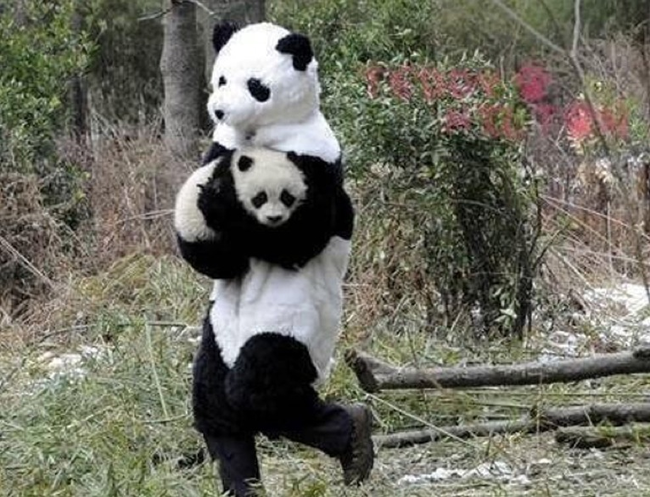 11.) Panda researchers in China dress as older pandas to make the younger ones feel more at ease in their environment.
