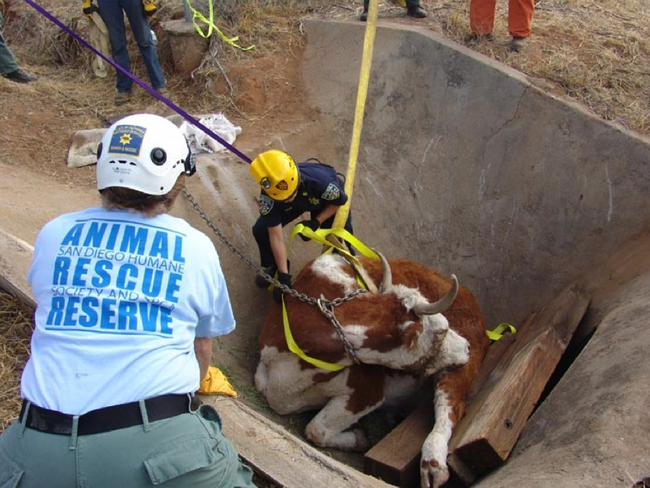 15.) San Diego Humane Society's Animal Rescue Reserve works to free a cow from a cement ditch.