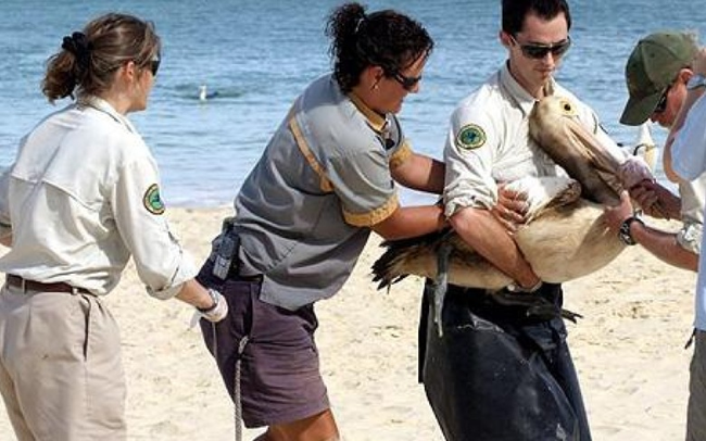 19.) Volunteers work together to clean an oil-covered pelican.