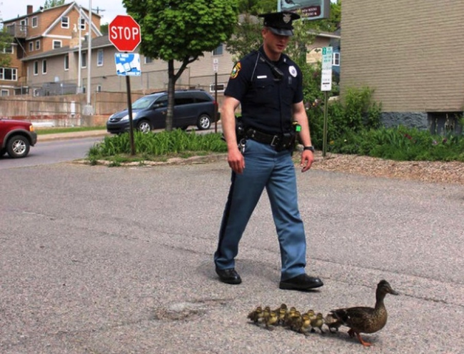 18.) A police officer escorts a family of ducks to safety.