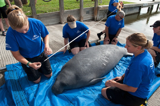 20.) SeaWorld's rescue team measures a manatee before returning it to the wild.