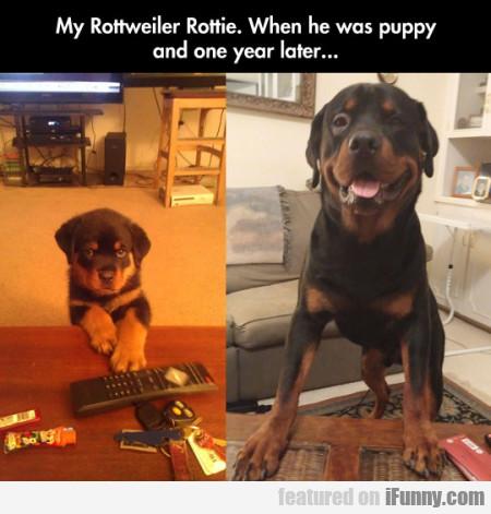 My Rottweiler Rottie