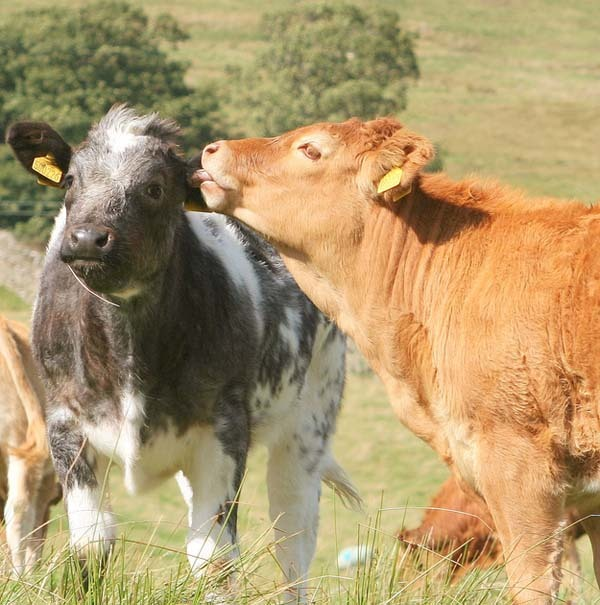 1.) Cows can have best friends.