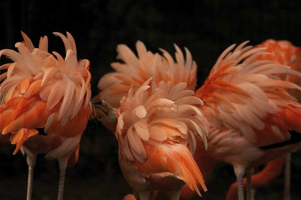 """2.) A group of flamingos is called a """"flamboyance."""""""
