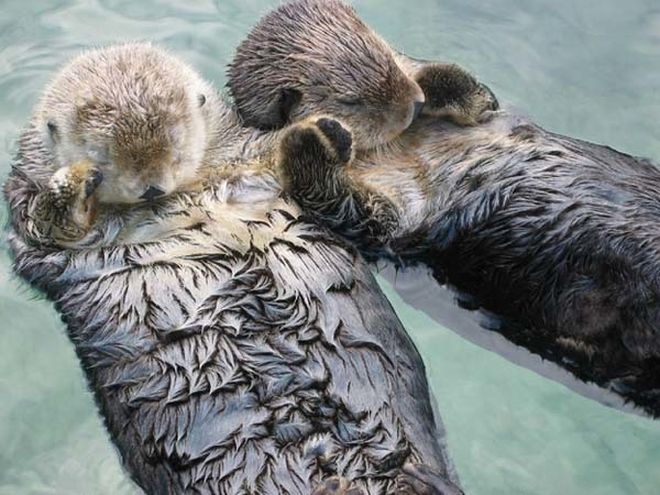 6.) Sea otters hold each other's paws when they sleep so they don't drift apart.