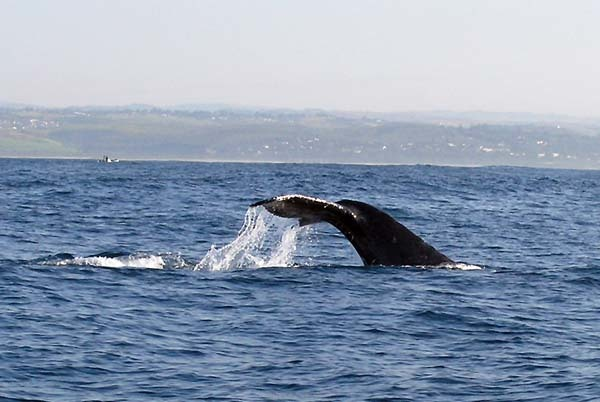 9.) Humpback whales share mating songs throughout their population (they have their own popular music!).