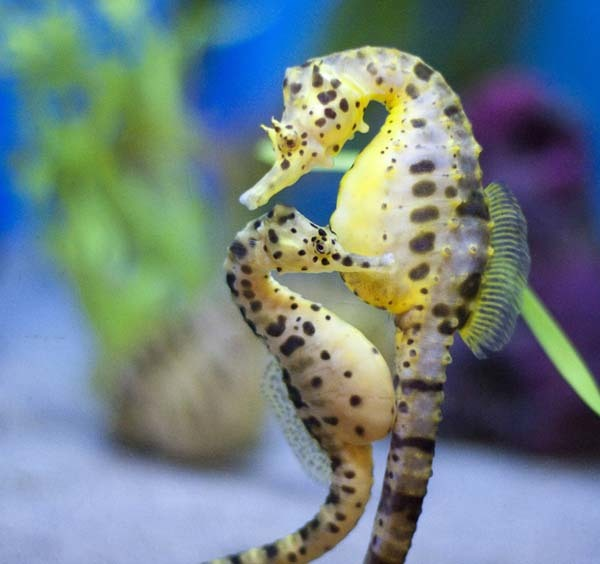 11.) Seahorses are monogamous life mates and travel in pairs, holding each other's tails.