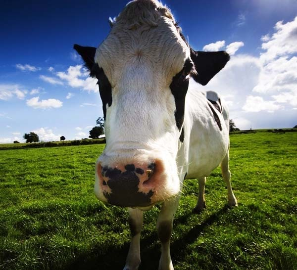 19.) Cows produce more milk when listening to soothing music.