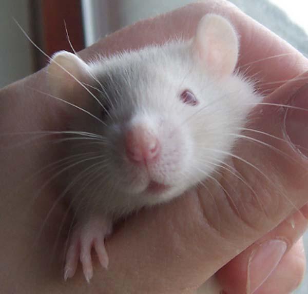 23.) Rats can laugh.