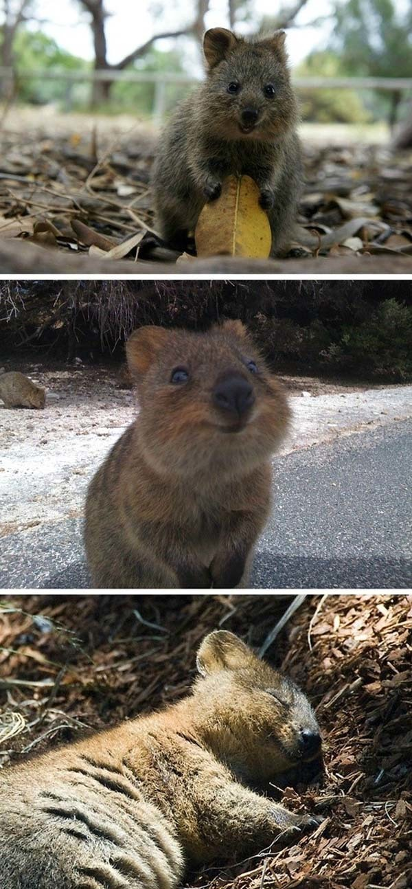 24.) Quokkas may be the happiest animals on the planet.