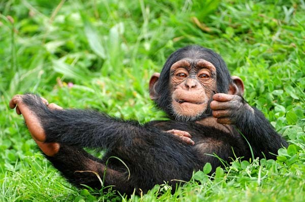 22.) Chimp babies like playing with dolls.