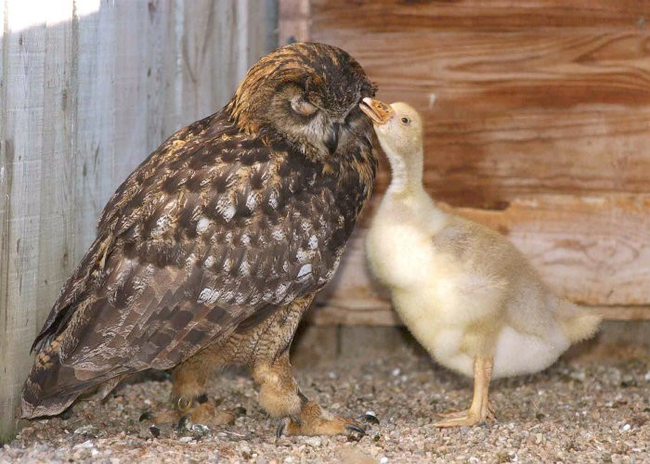 1.) Gandalf the owl tried and tried to lay an egg, but when she would it wouldn't hatch. Her owners gave her a goose egg, and when it hatched she raised the baby bird as her own.