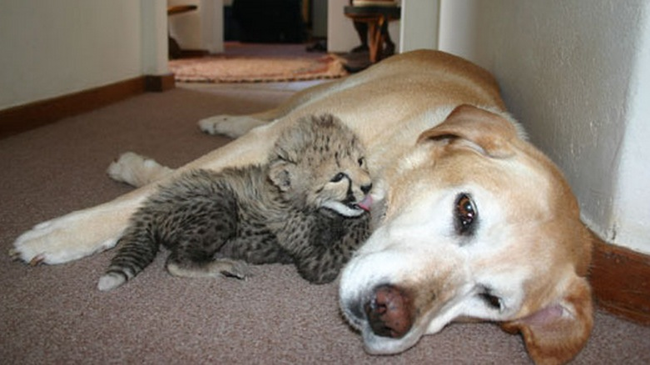 2.) Another adoptive mother, Lisha the retriever, has raised over 30 animals, including baby cheetahs, tigers, potbelly pigs, porcupines and even baby hippos.