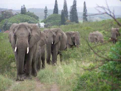 7.) These elephants performed a solemn funeral march to famous conservationist, Lawrence Anthony's house on the day he died. These elephants were sent to death because they deemed violent, but Anthony convinced authorities to see them in a new light. The herd marched 2 hours to thank the man who saved their families.