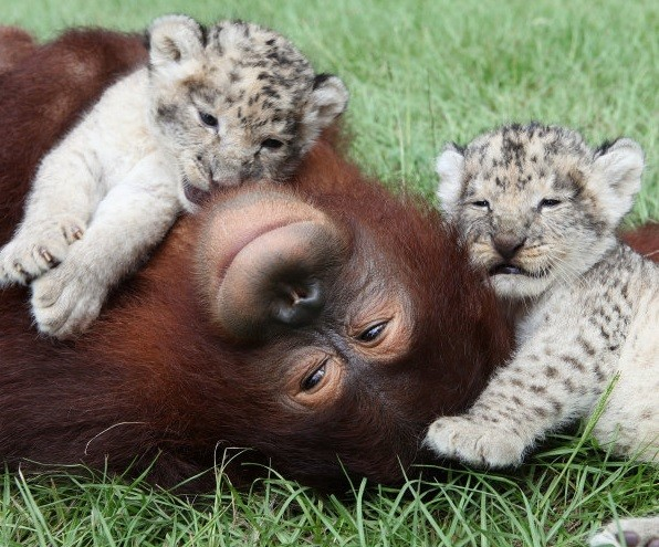 8.) Hanama the orangutan at the Myrtle Beach Safari Park in South Carolina enjoys is fostering two orphan lion cubs until they are able to fend for themselves.