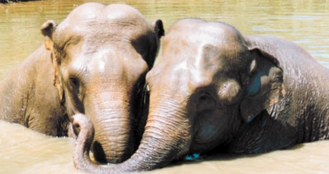 9.) These two besties are named Jenny and Shirley. When Shirley was 20 she was held captive in the same abusive circus as Jenny, who was just a baby at the time. When they happened to meet up at the same animal sanctuary the old friends hastily embraced and have been inseparable ever since.